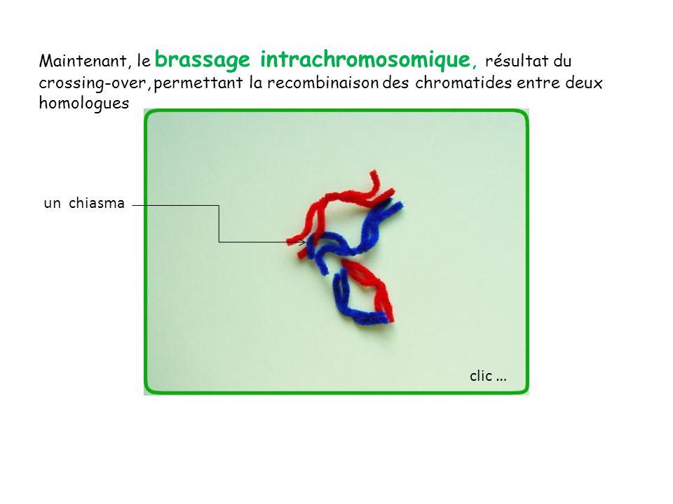 Maintenant, le brassage intrachromosomique, résultat du crossing-over, permettant la recombinaison des chromatides entre deux homologues