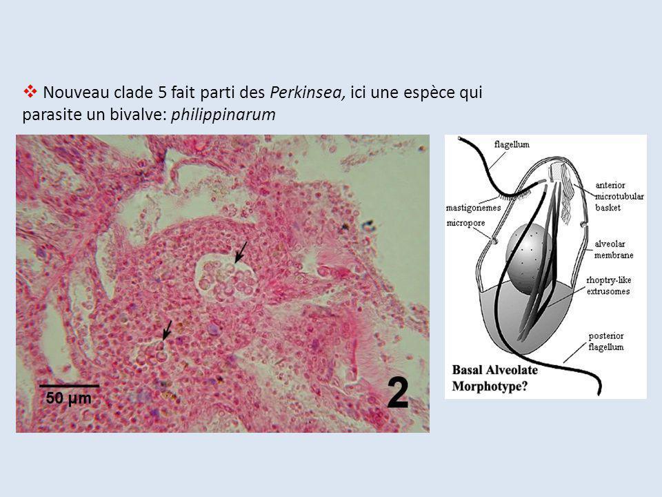 Nouveau clade 5 fait parti des Perkinsea, ici une espèce qui parasite un bivalve: philippinarum