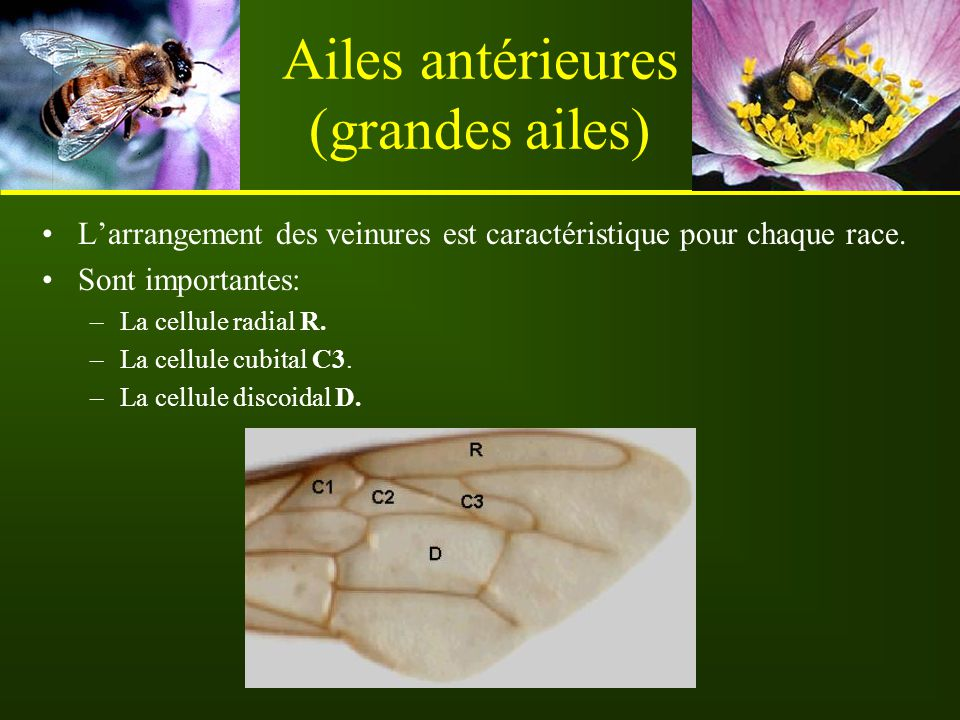 Ailes antérieures (grandes ailes)