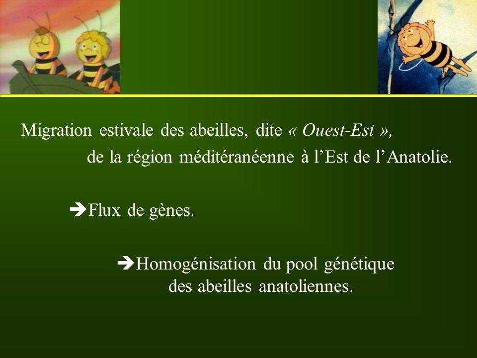 Migration estivale des abeilles, dite « Ouest-Est »,