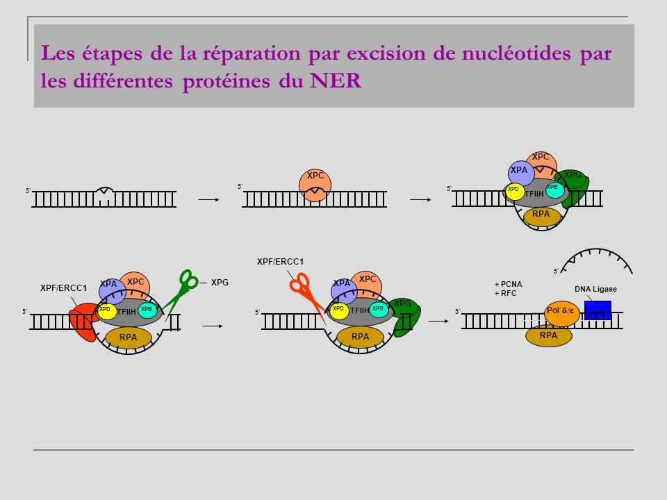 Les étapes de la réparation par excision de nucléotides par les différentes protéines du NER