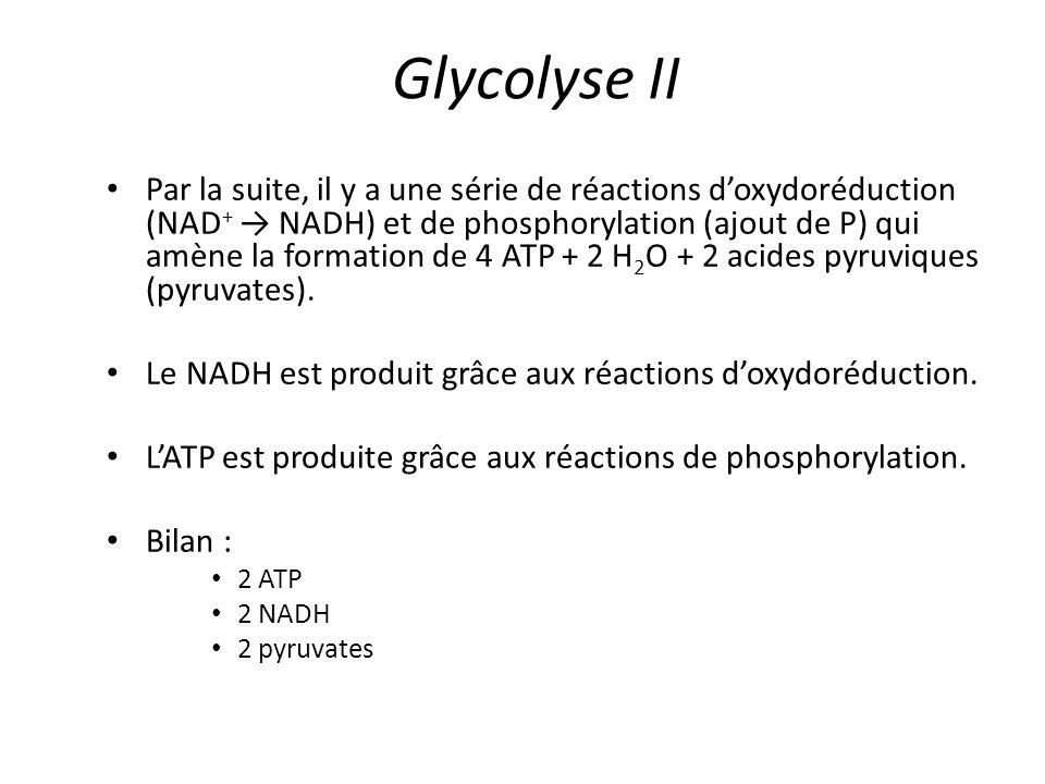 Glycolyse II