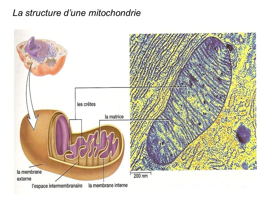 La structure d'une mitochondrie