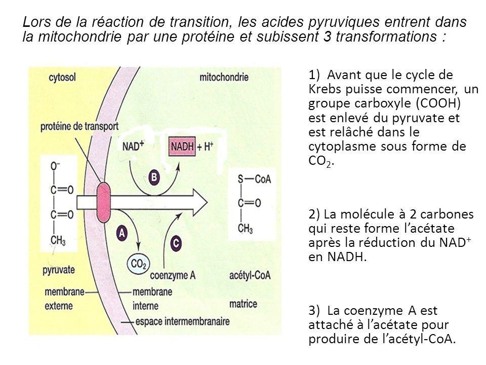Lors de la réaction de transition, les acides pyruviques entrent dans la mitochondrie par une protéine et subissent 3 transformations :