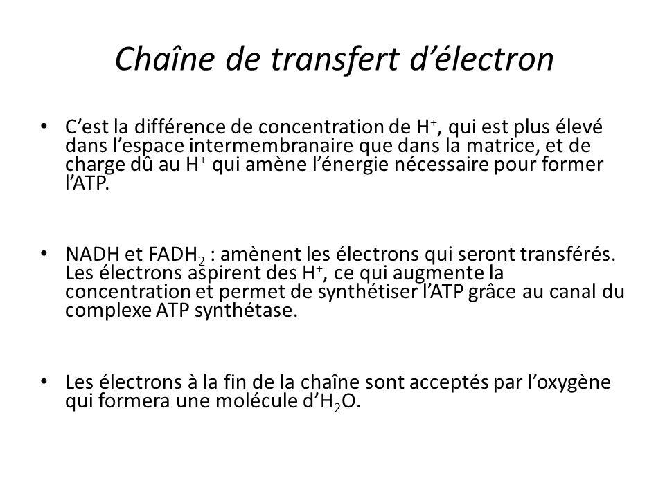 Chaîne de transfert d'électron