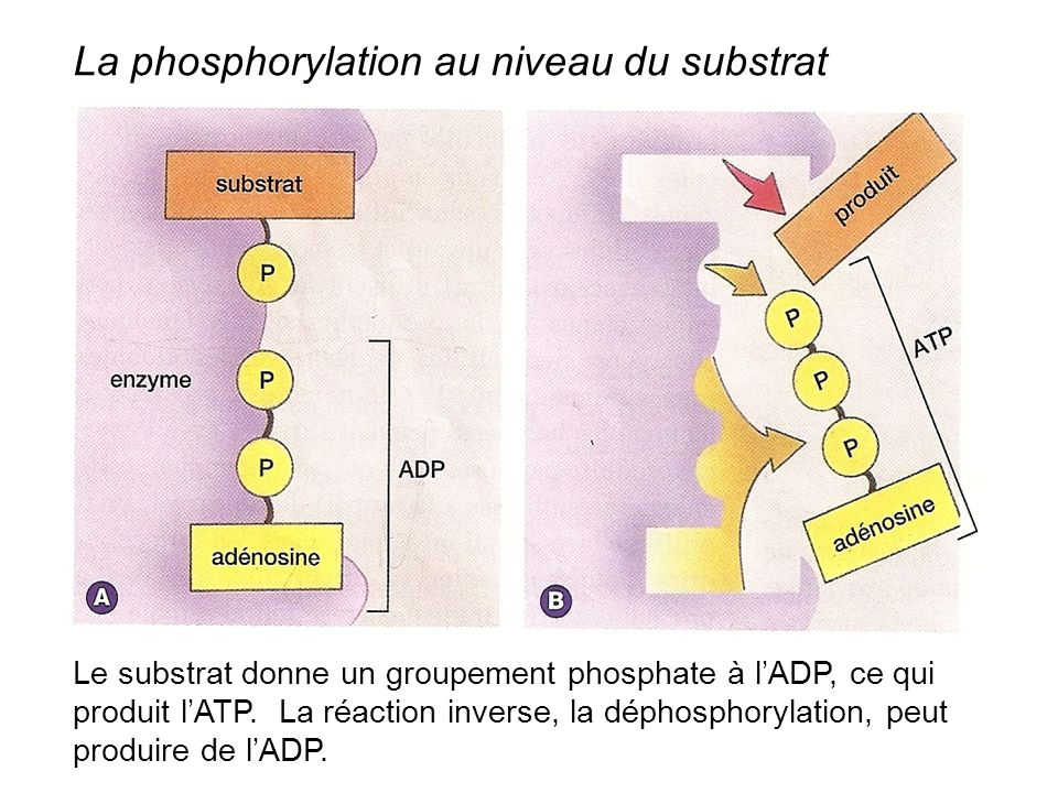 La phosphorylation au niveau du substrat
