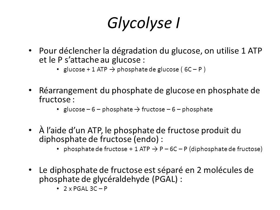 Glycolyse I Pour déclencher la dégradation du glucose, on utilise 1 ATP et le P s'attache au glucose :