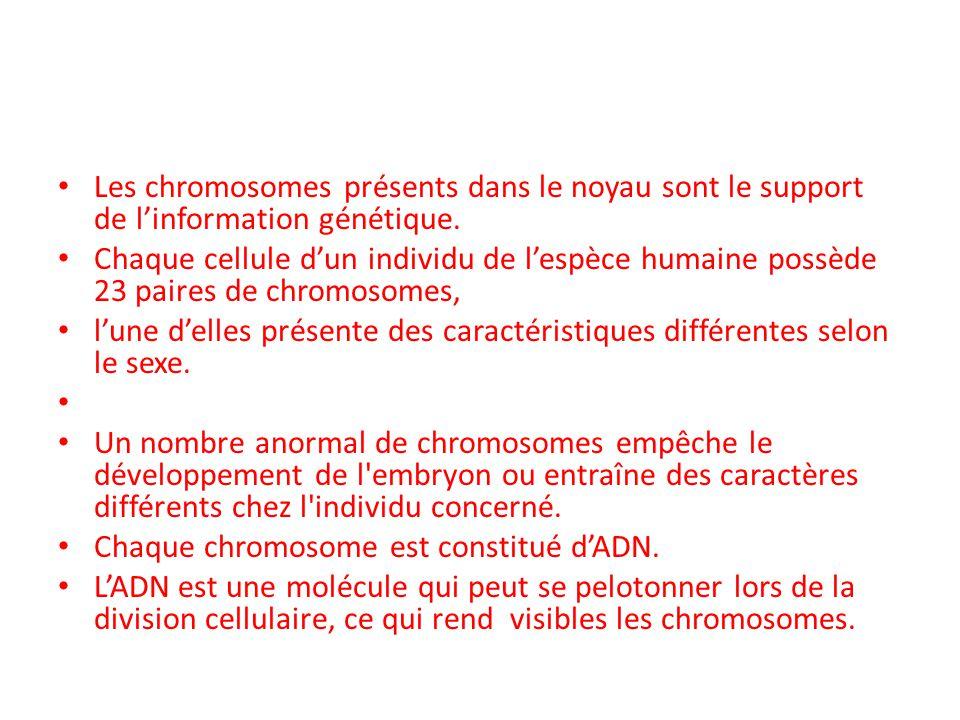 Les chromosomes présents dans le noyau sont le support de l'information génétique.