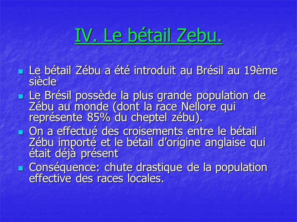 IV. Le bétail Zebu. Le bétail Zébu a été introduit au Brésil au 19ème siècle.