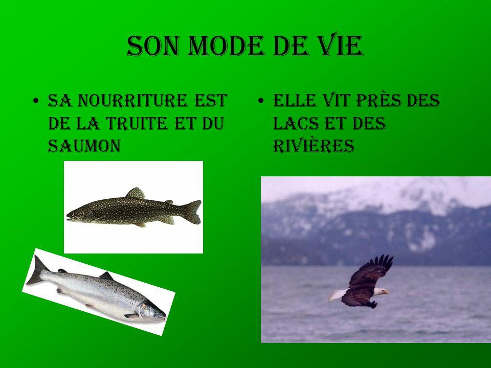 Son mode de vie Sa nourriture est de la truite et du saumon