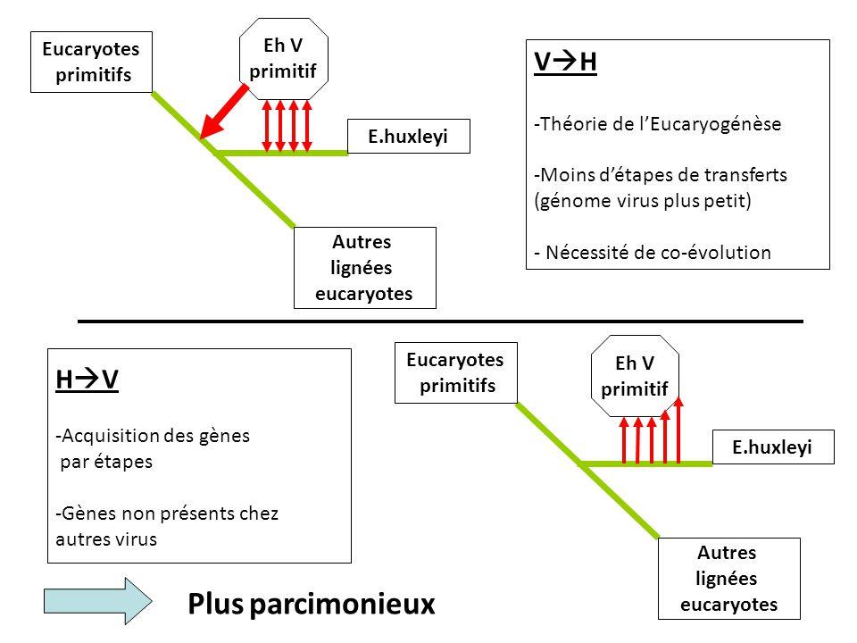 Plus parcimonieux VH HV Eh V Eucaryotes primitif primitifs