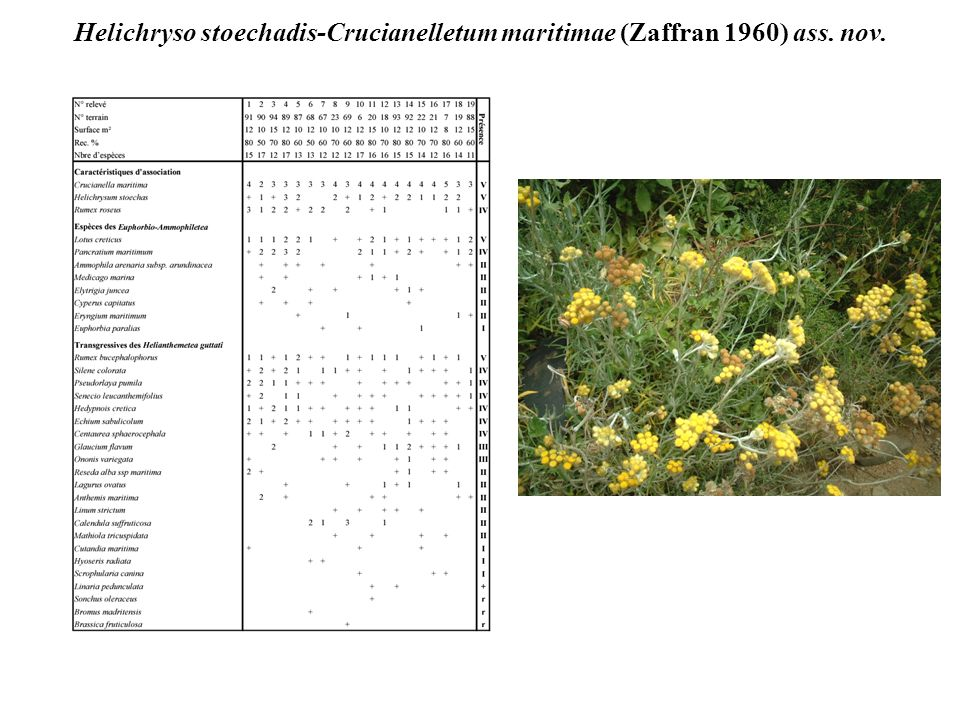 Helichryso stoechadis-Crucianelletum maritimae (Zaffran 1960) ass. nov.