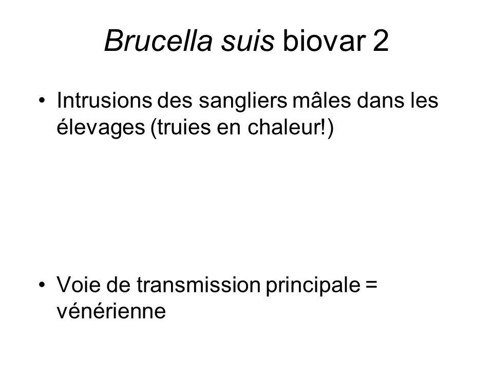 Brucella suis biovar 2 Intrusions des sangliers mâles dans les élevages (truies en chaleur!) Voie de transmission principale = vénérienne.