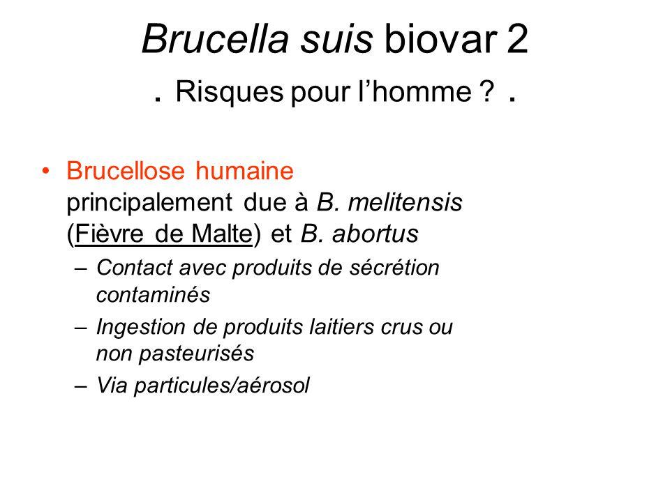 Brucella suis biovar 2 . Risques pour l'homme .