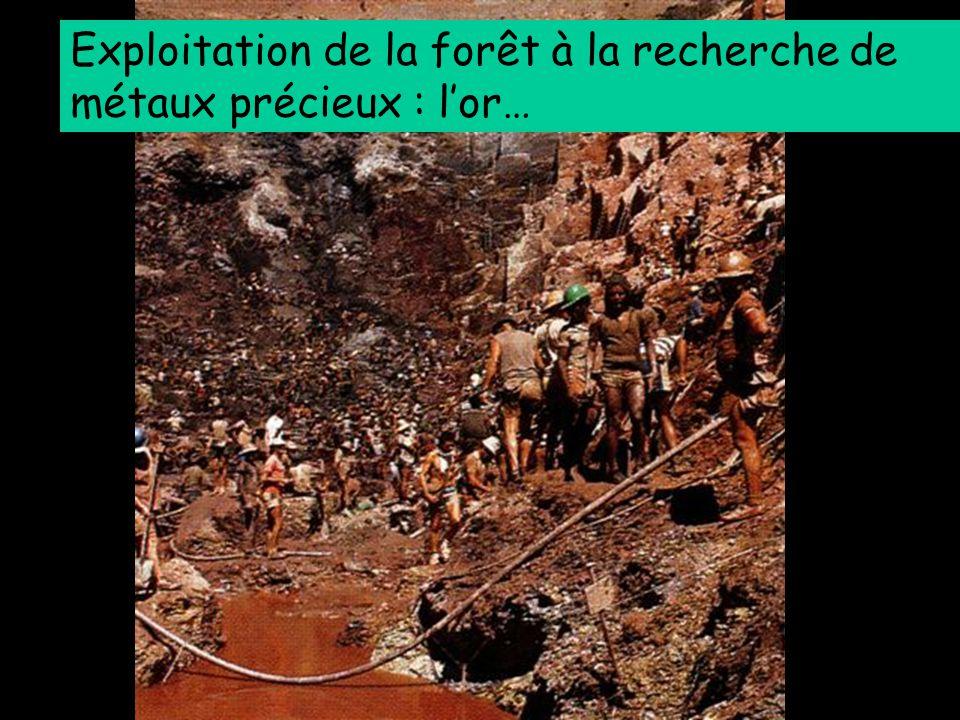 Exploitation de la forêt à la recherche de métaux précieux : l'or…