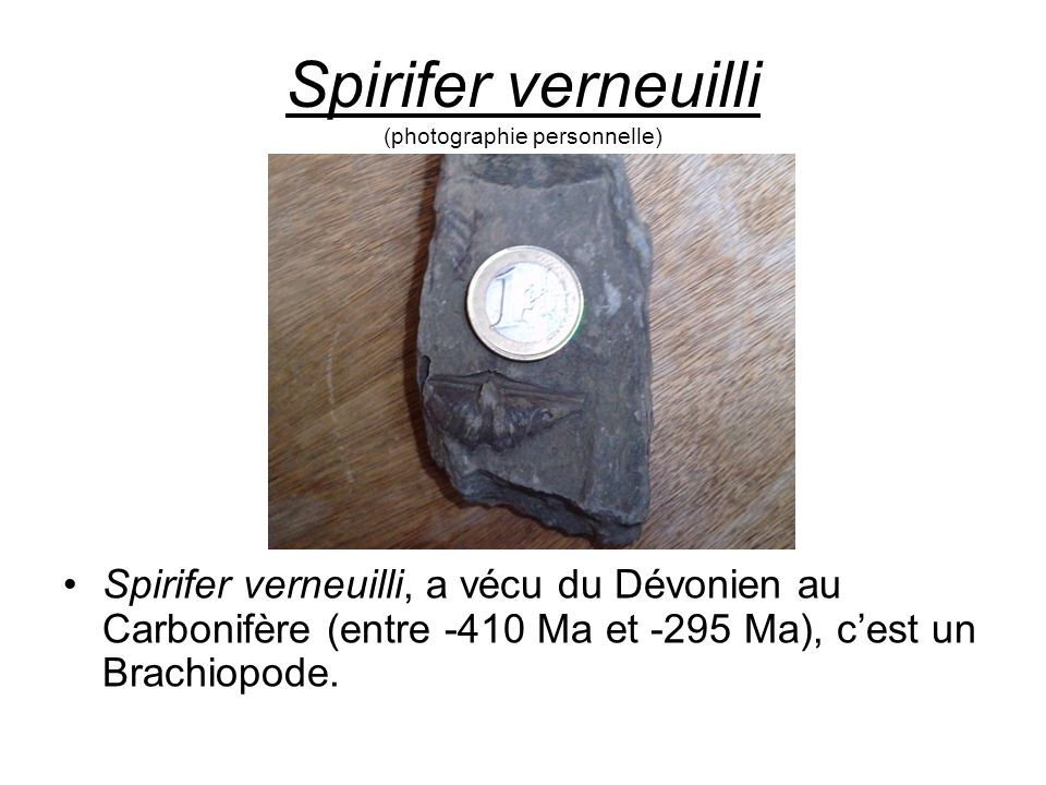 Spirifer verneuilli (photographie personnelle)