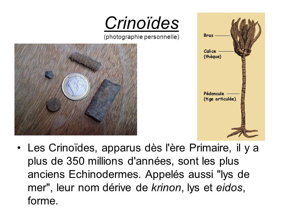 Crinoïdes (photographie personnelle)
