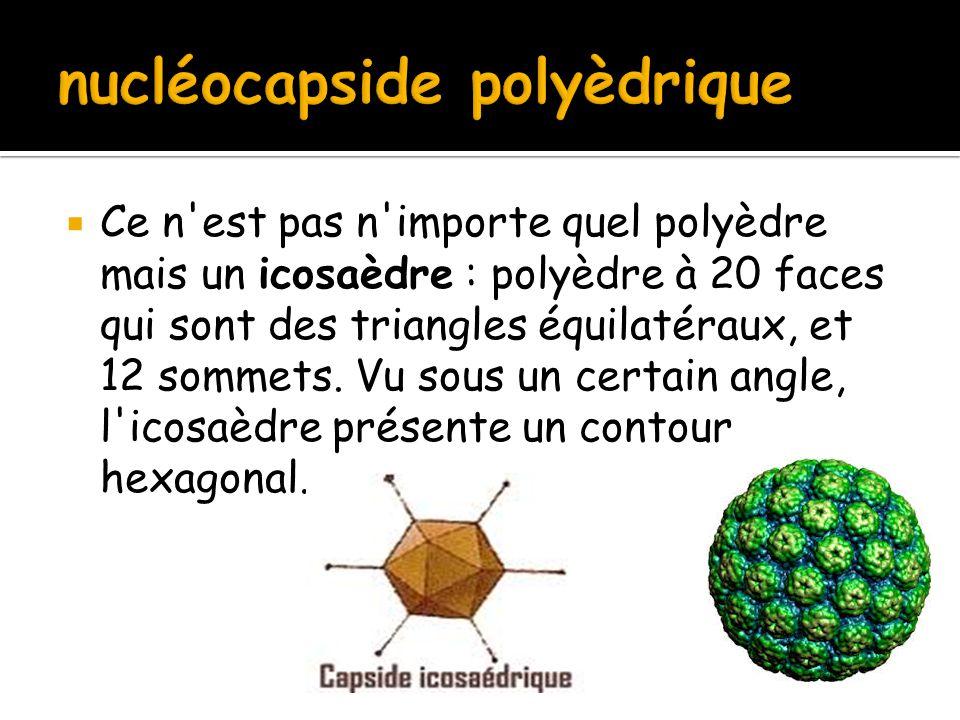 nucléocapside polyèdrique