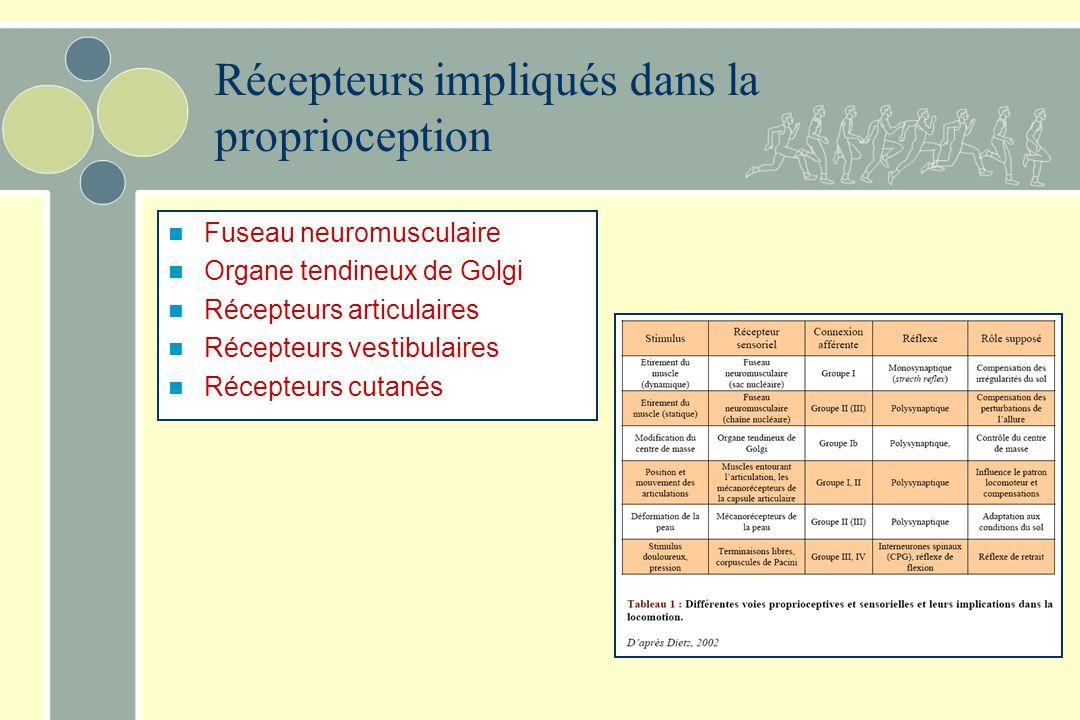 Récepteurs impliqués dans la proprioception
