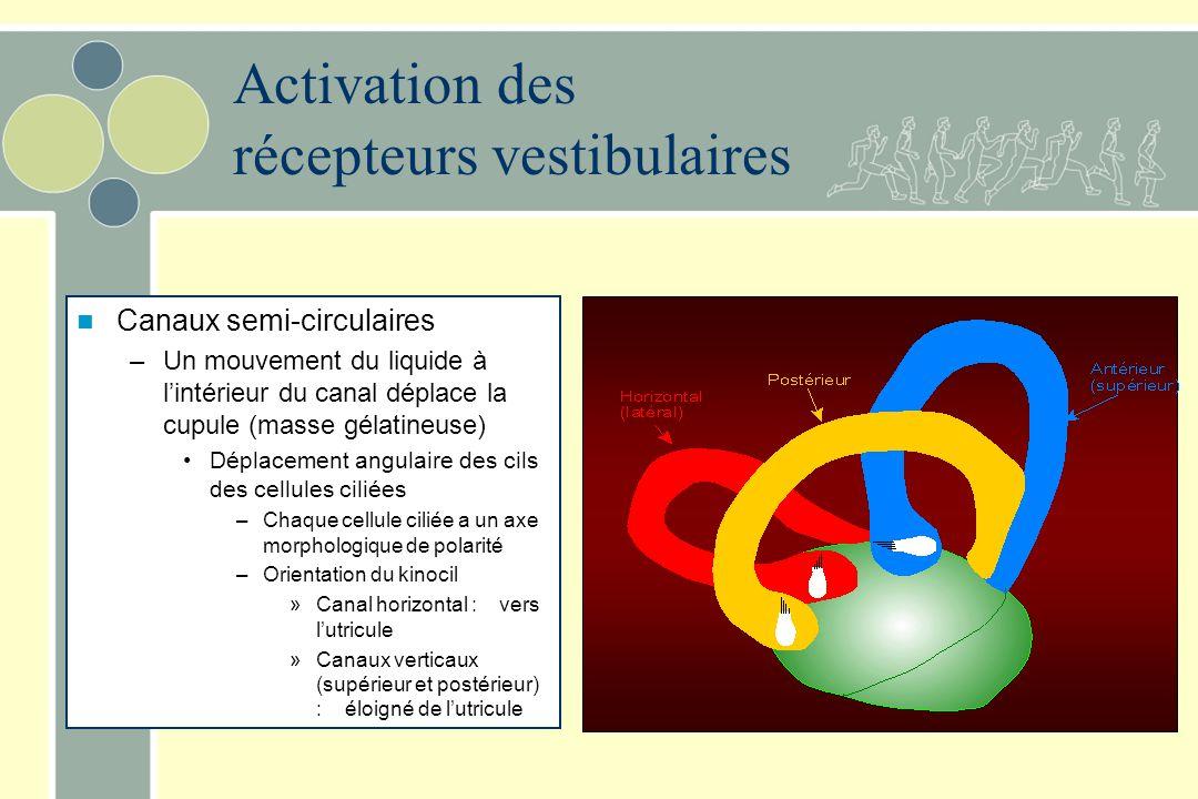 Activation des récepteurs vestibulaires