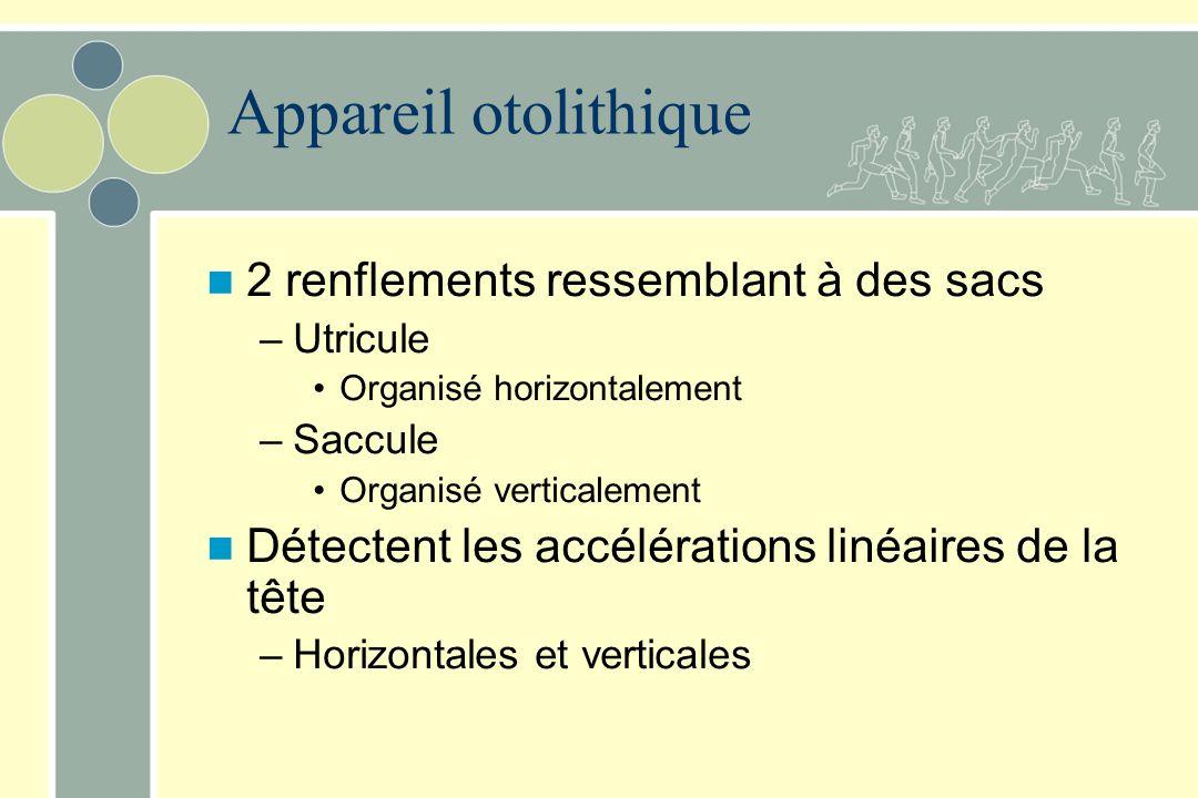 Appareil otolithique 2 renflements ressemblant à des sacs