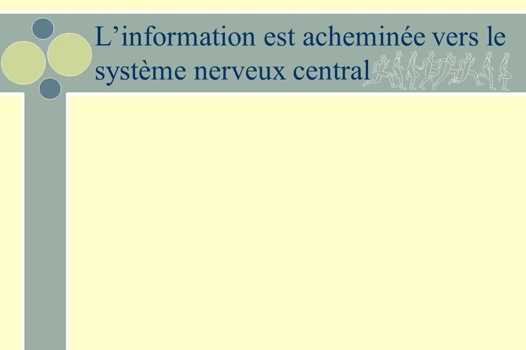 L'information est acheminée vers le système nerveux central
