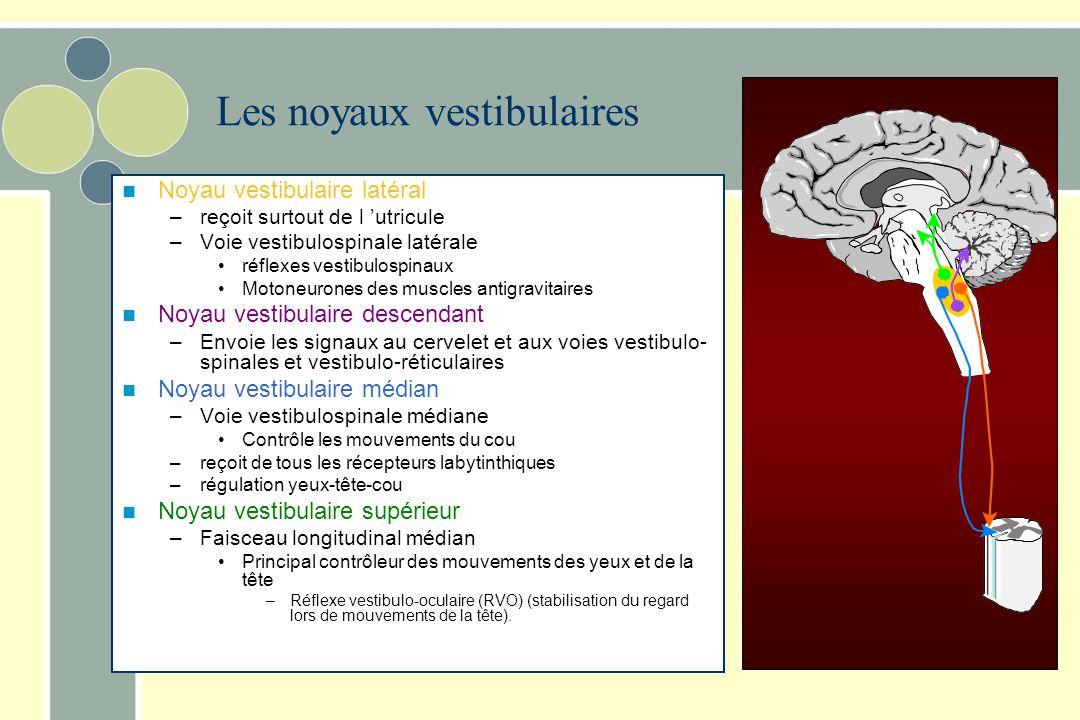 Les noyaux vestibulaires