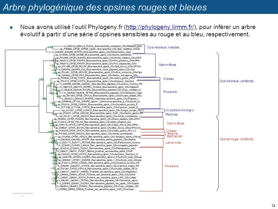 Arbre phylogénique des opsines rouges et bleues