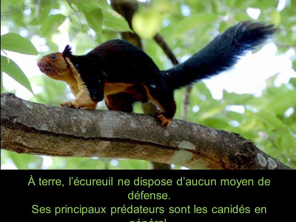 À terre, l'écureuil ne dispose d'aucun moyen de défense.