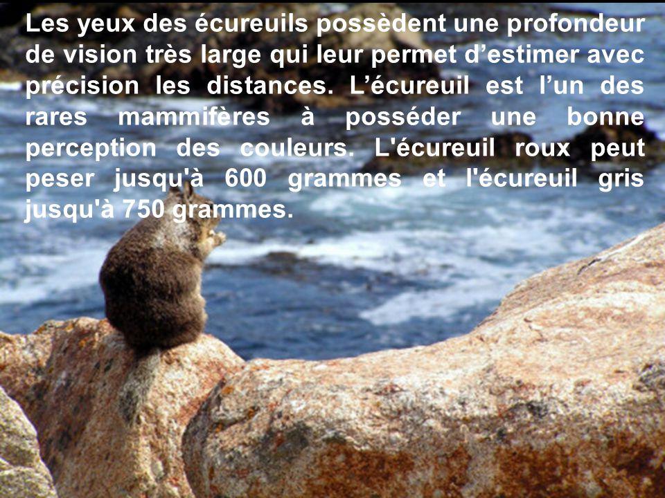 Les yeux des écureuils possèdent une profondeur de vision très large qui leur permet d'estimer avec précision les distances.