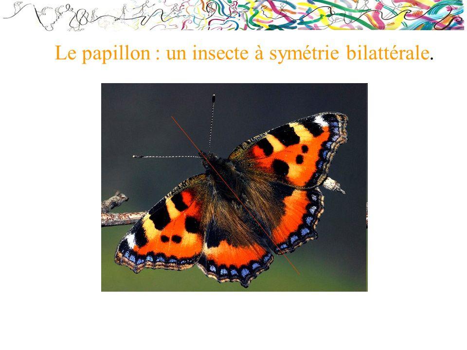 Le papillon : un insecte à symétrie bilattérale.
