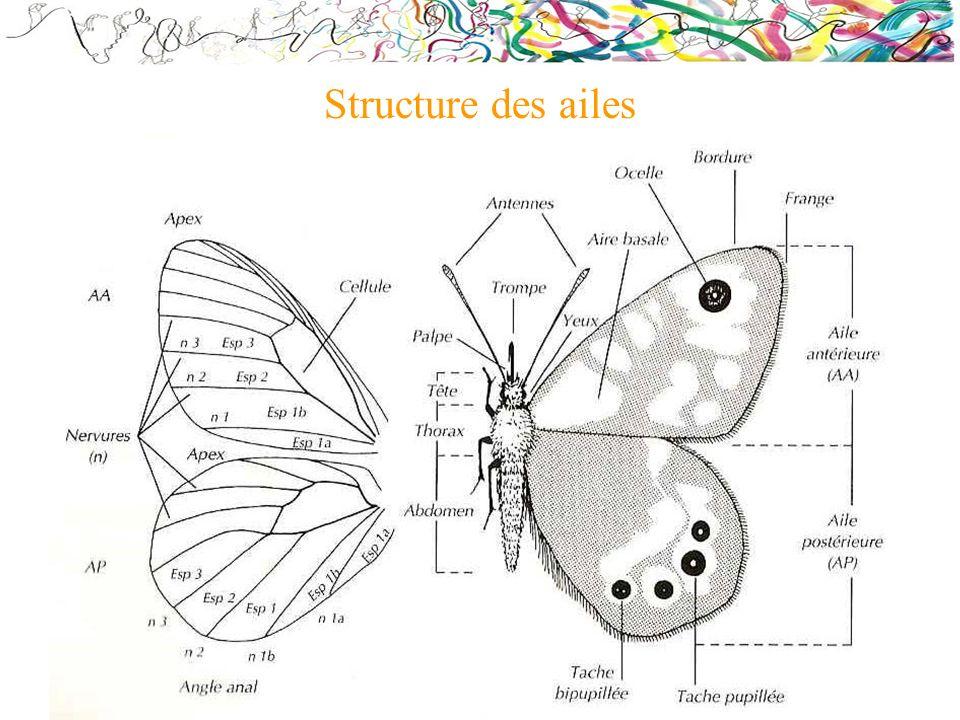 Structure des ailes