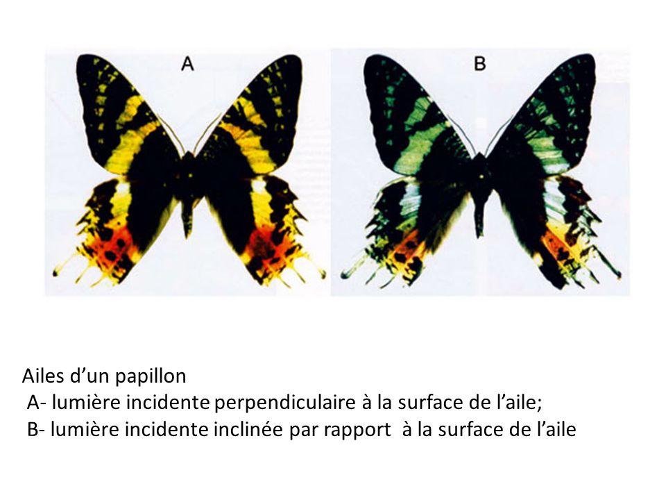 Ailes d'un papillon A- lumière incidente perpendiculaire à la surface de l'aile; B- lumière incidente inclinée par rapport à la surface de l'aile