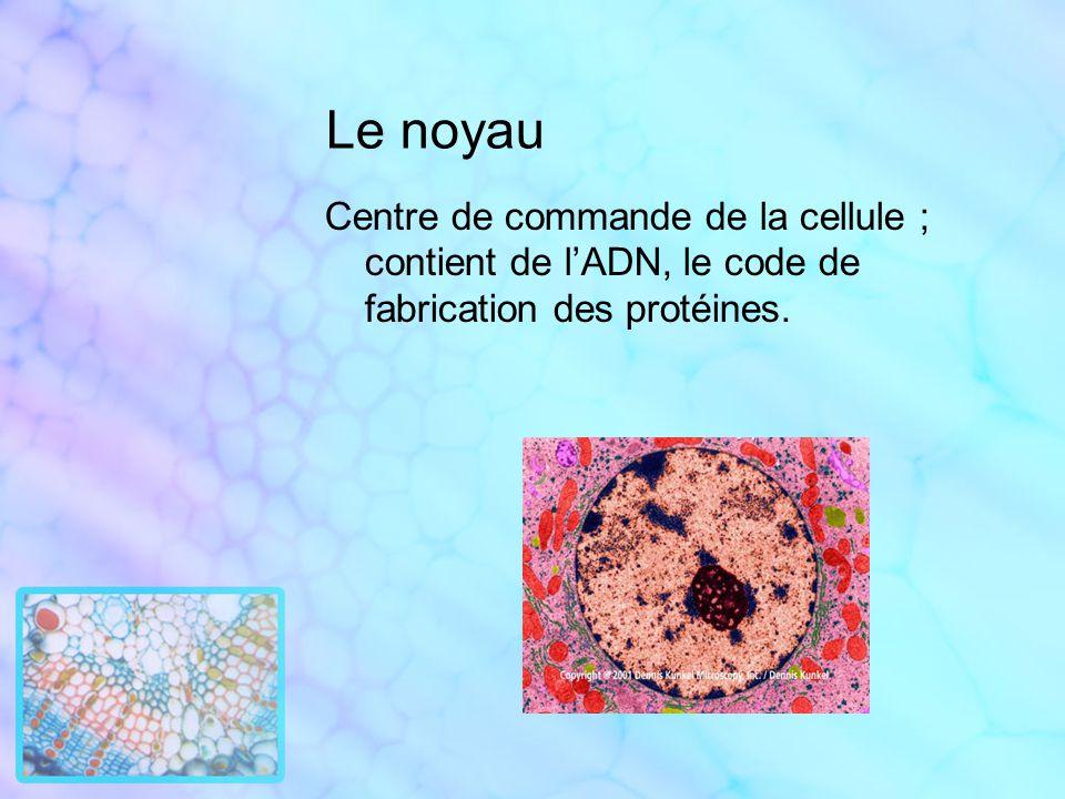 Le noyau Centre de commande de la cellule ; contient de l'ADN, le code de fabrication des protéines.