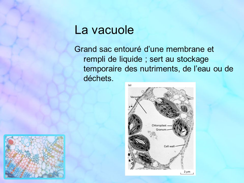 La vacuole Grand sac entouré d'une membrane et rempli de liquide ; sert au stockage temporaire des nutriments, de l'eau ou de déchets.