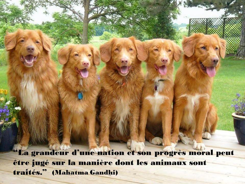 La grandeur d'une nation et son progrès moral peut être jugé sur la manière dont les animaux sont traités. (Mahatma Gandhi)