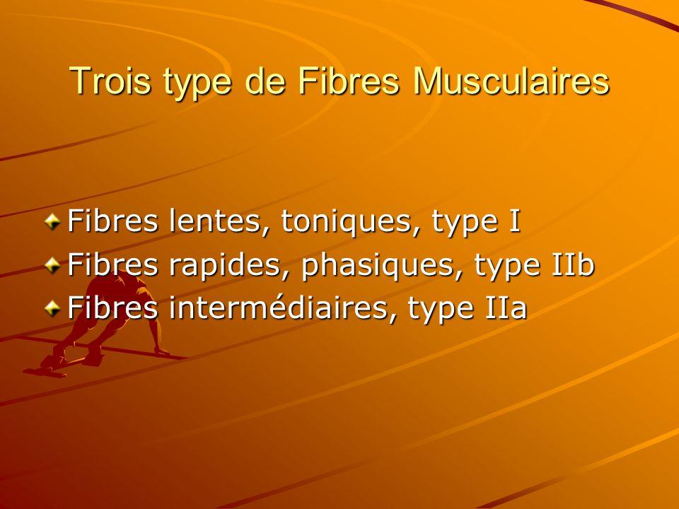 Trois type de Fibres Musculaires