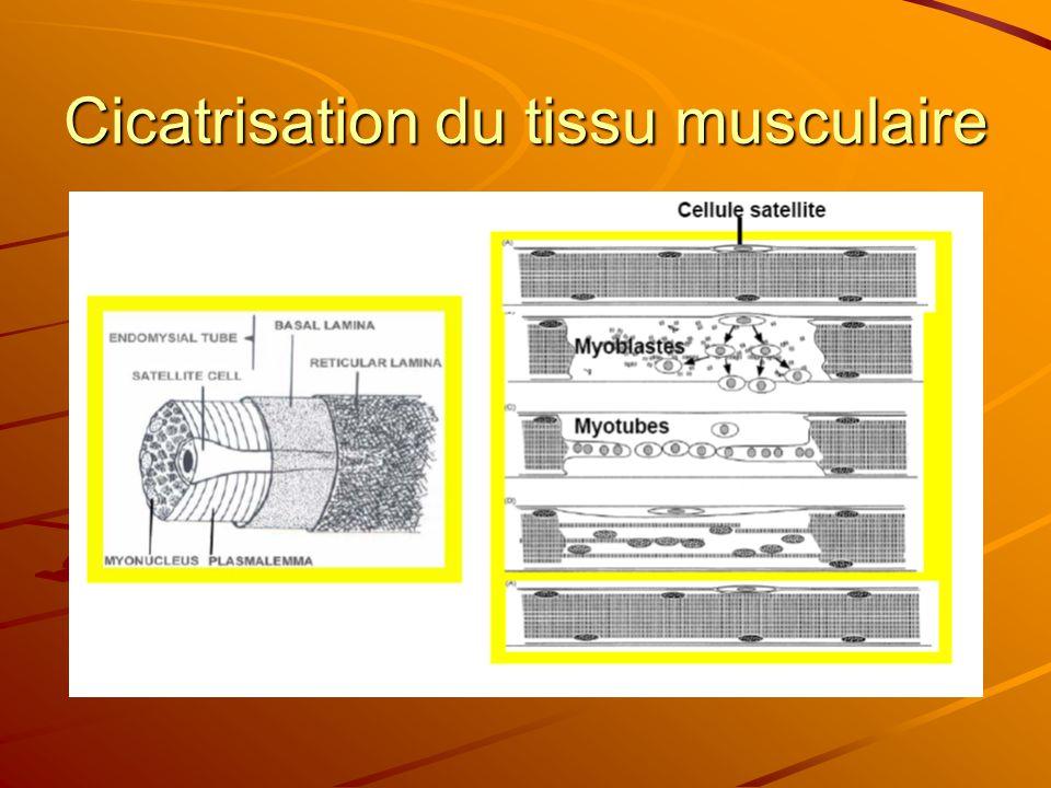 Cicatrisation du tissu musculaire