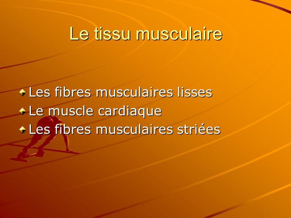 Le tissu musculaire Les fibres musculaires lisses Le muscle cardiaque