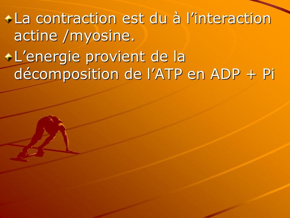 La contraction est du à l'interaction actine /myosine.