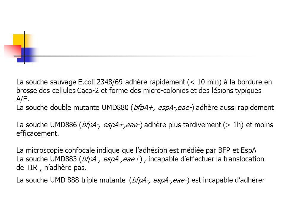 La souche sauvage E.coli 2348/69 adhère rapidement (< 10 min) à la bordure en