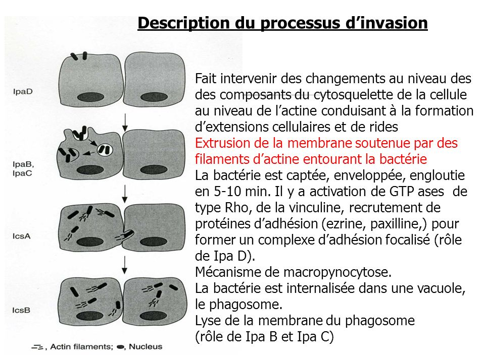 Description du processus d'invasion
