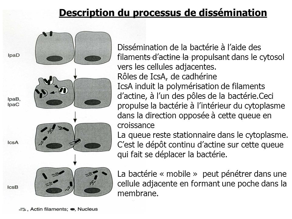 Description du processus de dissémination