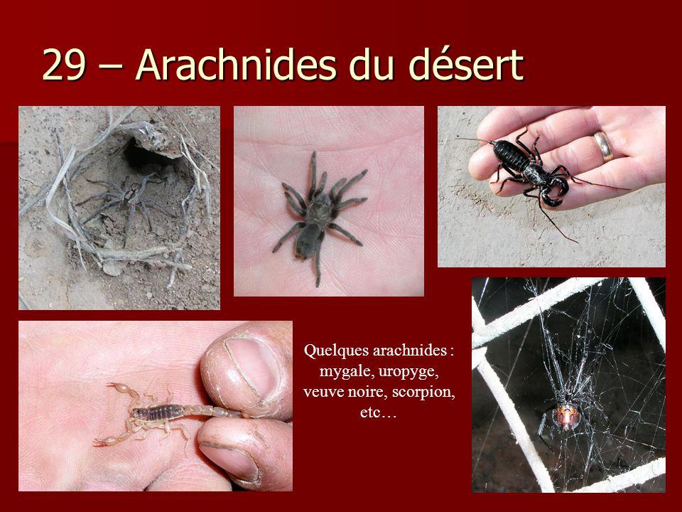 Quelques arachnides : mygale, uropyge, veuve noire, scorpion, etc…