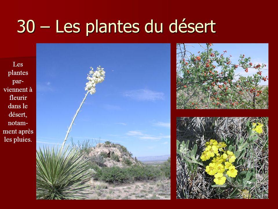 30 – Les plantes du désert Les plantes par-viennent à fleurir dans le désert, notam-ment après les pluies.
