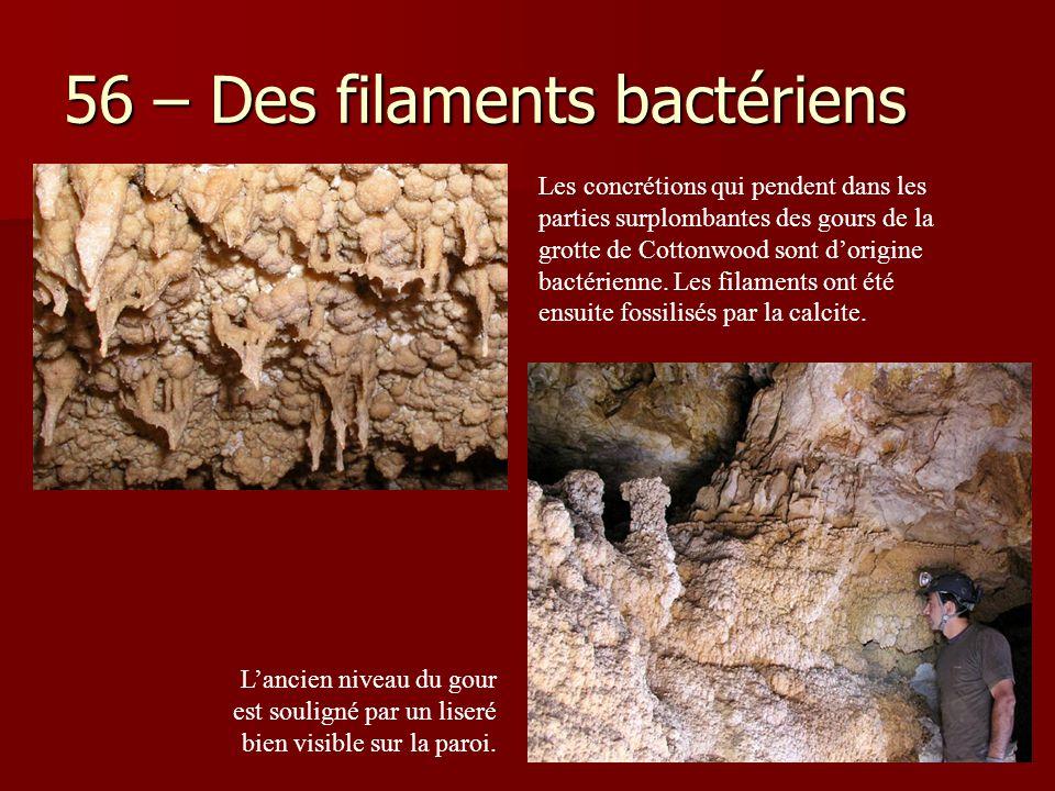 56 – Des filaments bactériens