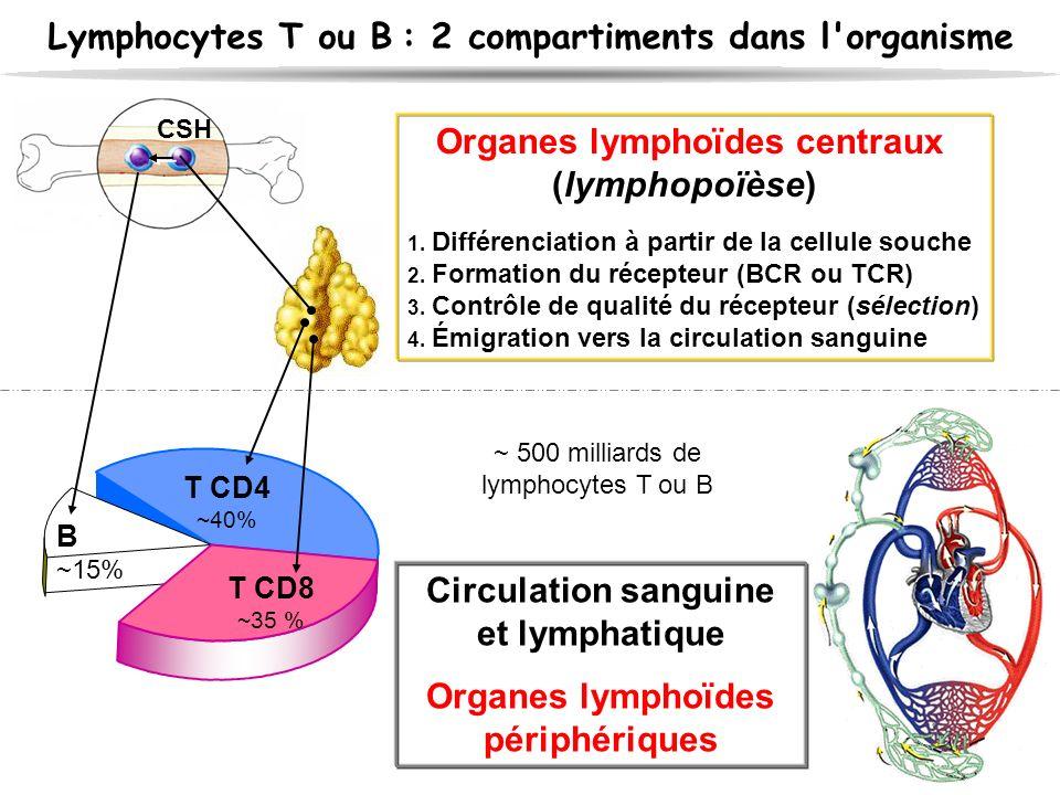 Circulation sanguine et lymphatique Organes lymphoïdes périphériques