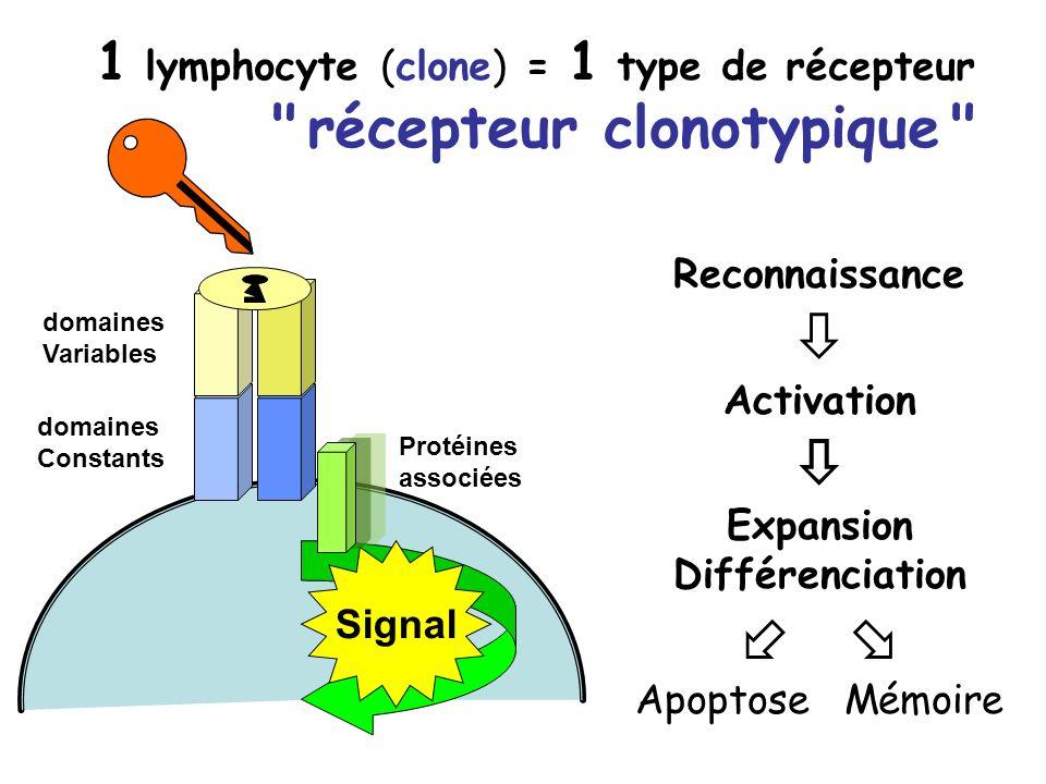    récepteur clonotypique