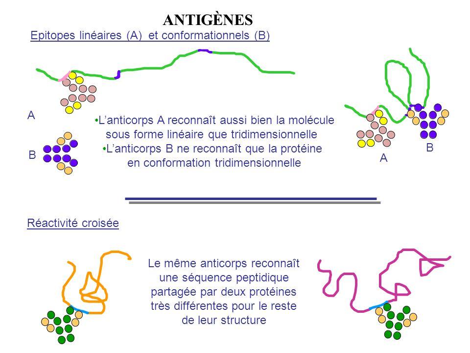 ANTIGènes Epitopes linéaires (A) et conformationnels (B) A