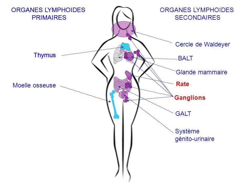 ORGANES LYMPHOIDES PRIMAIRES. ORGANES LYMPHOIDES. PRIMAIRES. ORGANES LYMPHOIDES. SECONDAIRES. Cercle de Waldeyer.